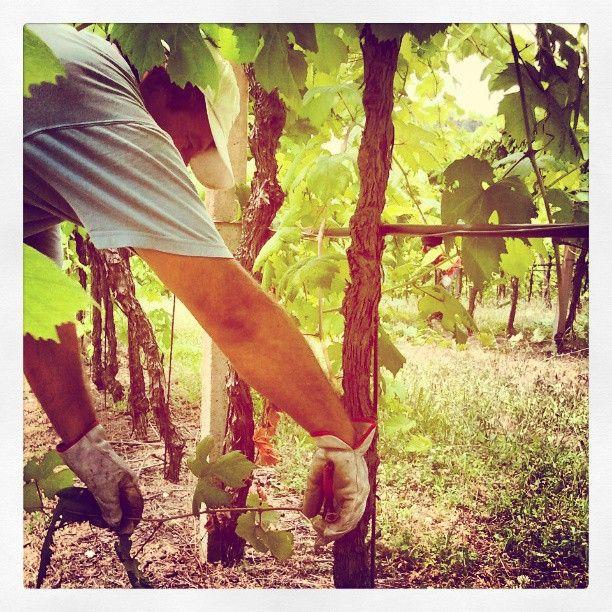 Spollonatura: procedimento che fa si che il nutrimento si concentri nella parte alta della pianta. Risultato: #uve di ottima qualità! #umbertocesari