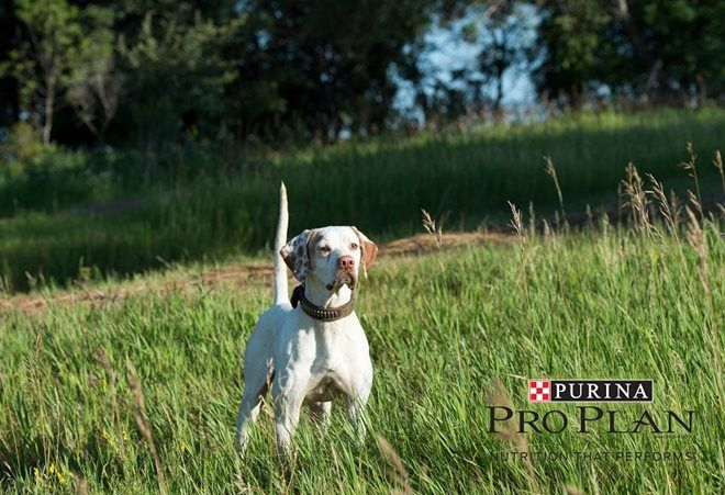 Upland Dog Training Iupland Dogs Dog Training Bird Dogs