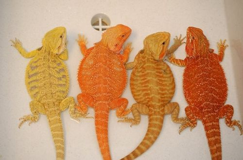 Bearded Dragons! Yes, these are actual colors! & they are incredibly sweet lizards!