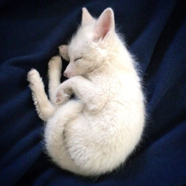 "white-fox-cub-rylai-7  ""I've wanted a pet fox for several years. After a lot of research and waiting, I felt that my home and schedule were ready,"" her owner writes"