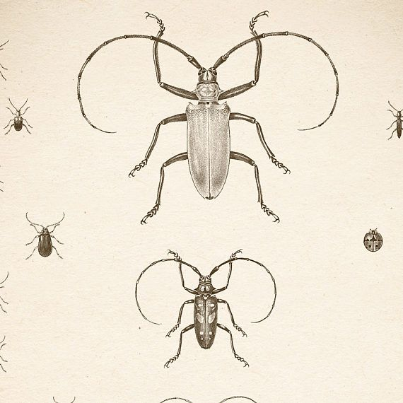 Longhorn beetle, Beetle print, Insect art vintage, Scientific illustration, Entomology, long-horned beetle print, longicorns, 8x10, 11x14. All INSECT PRINTS: https://www.etsy.com/shop/LizasDigitalVintage?ref=l2-shop-header-avatar&section_id=18624405 COLOR INSECT PRINTS: https://www.etsy.com/shop/RestoredBotanicalArt?ref=search_shop_redirect&section_id=21247821 You will receive 300 dpi resolution 2 JPG images, 8x10 and 11x1...
