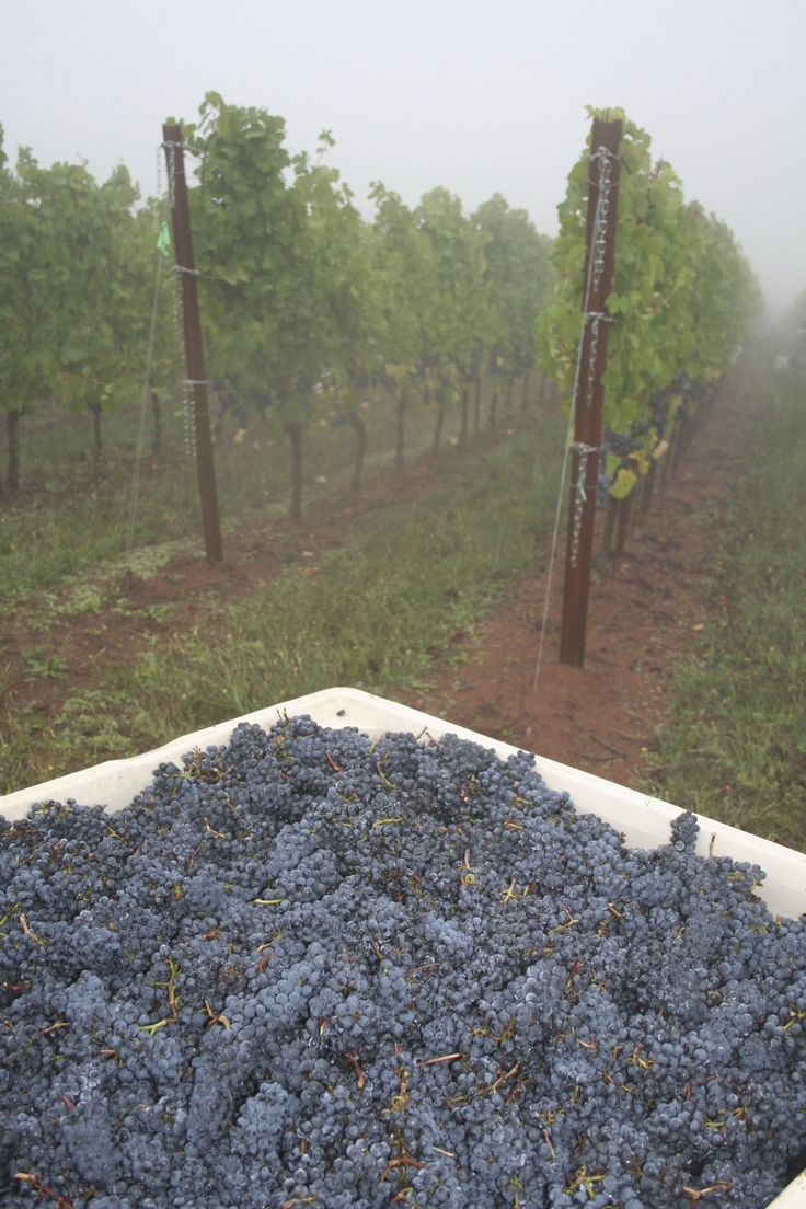 The early morning mist hangs in the air and the Pinot noir fruit looks fantastic.  Cheers to the 2013 vintage!