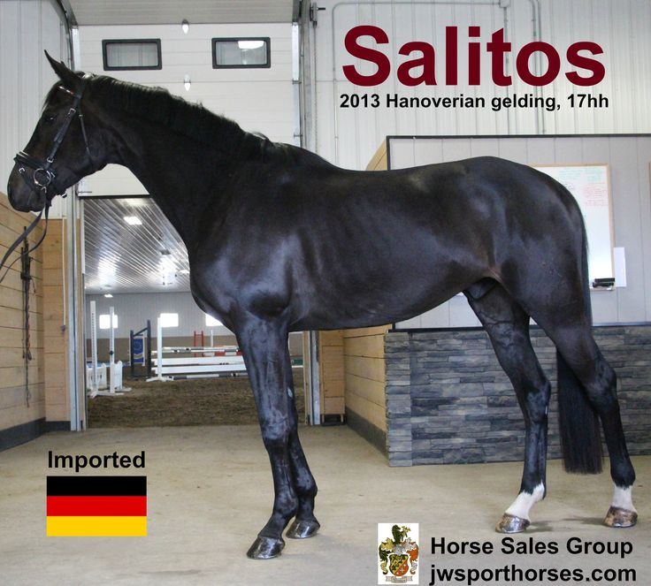 Sir Donnerhall descendant, FEI horse for sale