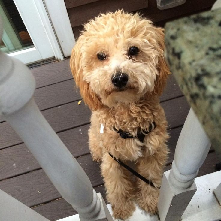 This is Riley.  Riley is a toy poodle and his mom's routine recently changed.  Here are some ways Riley's mom is handling this routine change for both of them: Riley has been having som…