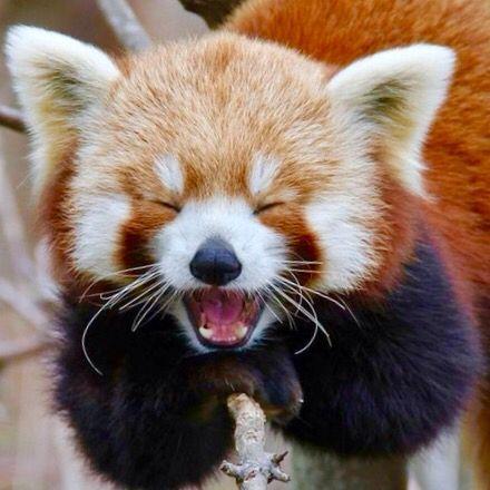 Red Panda Cake Topper