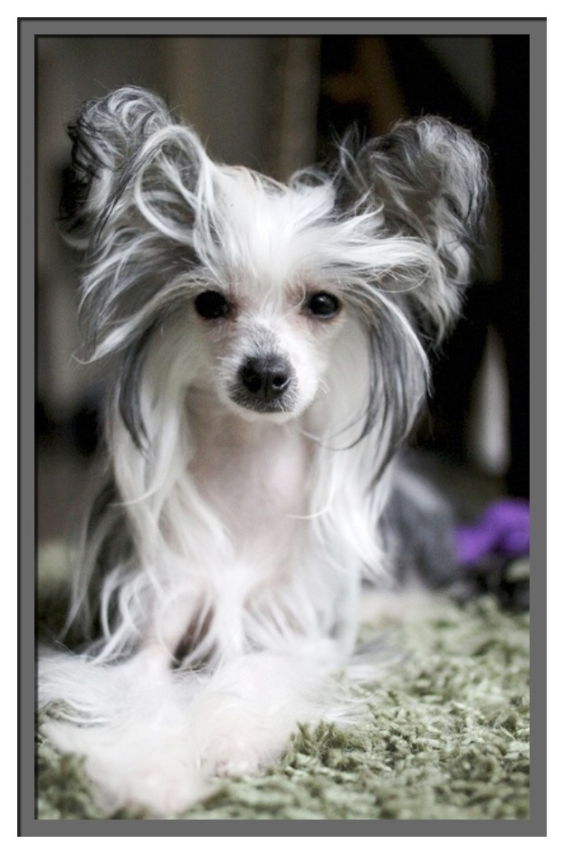 Best 862 Dog Xolos Peruvian Inca Orchid Dogs Chinese Crested