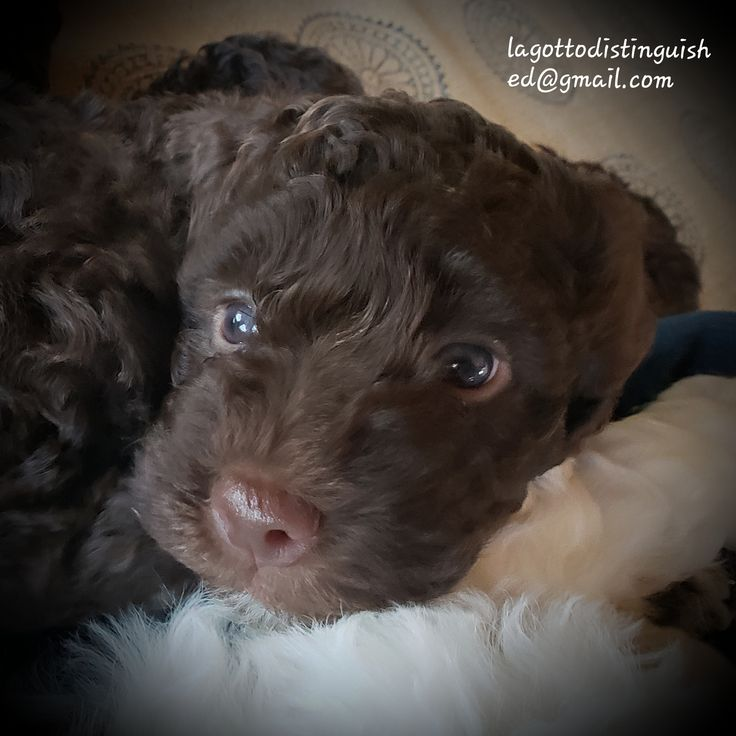 Pvbh lagotto distinguished now accepting applications for
