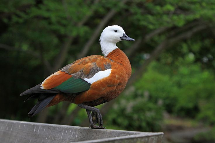 The white-headed female and black-headed male paradise shelduck generally mate for life, feeding and flying together. Shelducks are goose-like ducks with long necks found only in New Zealand. Males weigh 1.7 kilograms and females 1.4 kilograms.