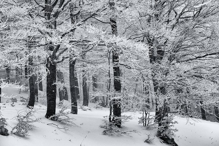 under the snow - the beech forest in the snow. Simbruini. Italy