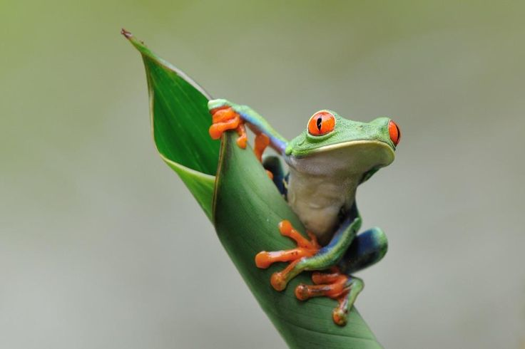 Красноглазая лягушка #красноглазая лягушка #коста рика#красноглазая лягушка #коста рика Photographer: Sergei Koultchitskii