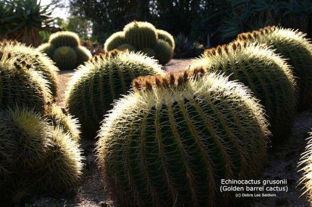 Echinocactus grusonii (cacto de tambor dourado) baixa resolução