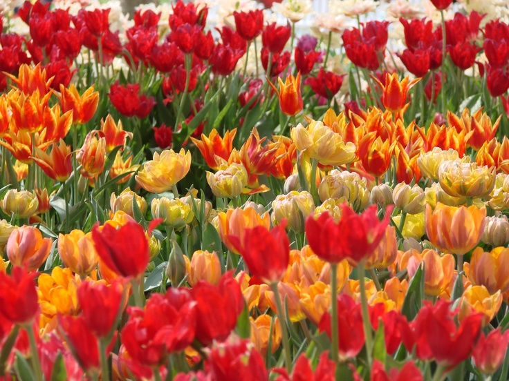 Beautiful tulips at the flower festival in Chiang Mai in 2006
