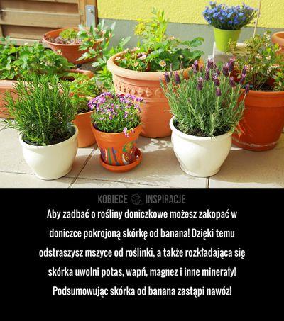 Aby zadbać o rośliny doniczkowe możesz zakopać w doniczce pokrojoną skórkę od banana! Dzięki temu odstraszysz mszyce od roślinki, a ...