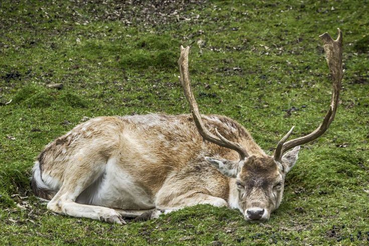 Charliebubbles posted a photo:  The male fallow deer is known as a buck, the female is a doe, and the young a fawn. Adult bucks are 140–160 cm (55–63 in) long, 85–95 cm (33–37 in) in shoulder height, and typically 60–100 kg (130–220 lb) in weight; does are 130–150 cm (51–59 in) long, 75–85 cm (30–33 in) in shoulder height, and 30–50 kg (66–110 lb) in weight. The largest bucks may measure 190 cm (75 in) long and weigh 150 kg (330 lb).[5] Fawns are born in spring around 30 cm (12 in) and weigh…
