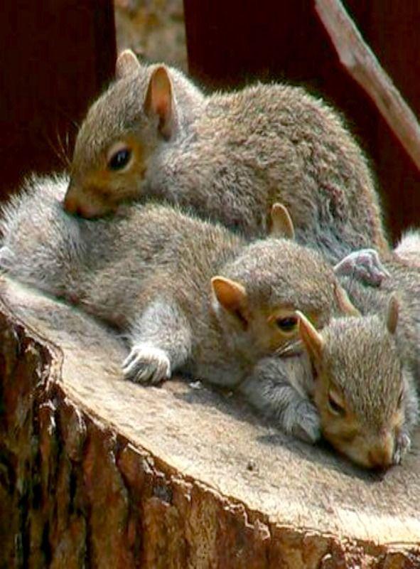 Sleepy Squirrels by mksphotocontest - MKS