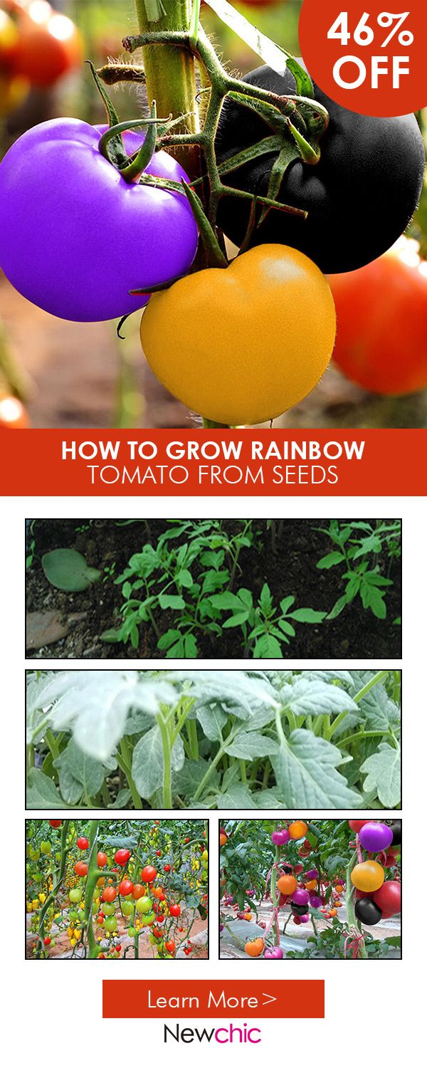 What to grow in the spring--100Pcs Rainbow Tomato Seeds Colorful Bonsai Organic Vegetables and Fruits Seeds Home Garden  #newchic#garden#seed