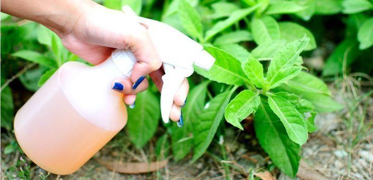 Veja como fazer um inseticida natural para manter as suas plantas livres de pulgões, piolhos e cochonilhas! Não faz mal à família e aos bichinhos da casa!