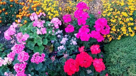 Flowers from the central garden, The Cedarwood Inn and Suites | 9522 Lochside Drive, Sidney, B