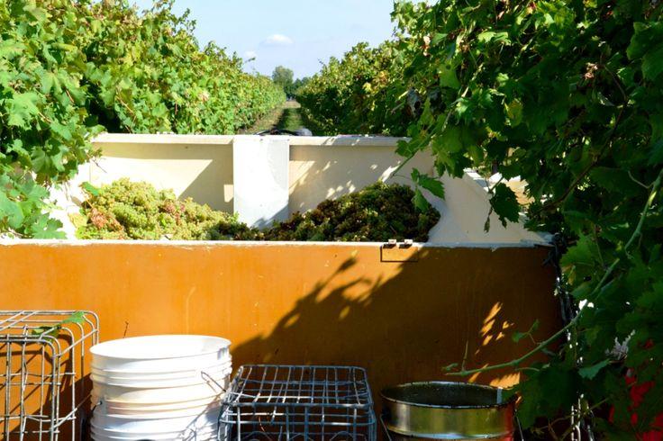 grapes # wine producer # white wine # italian wine #