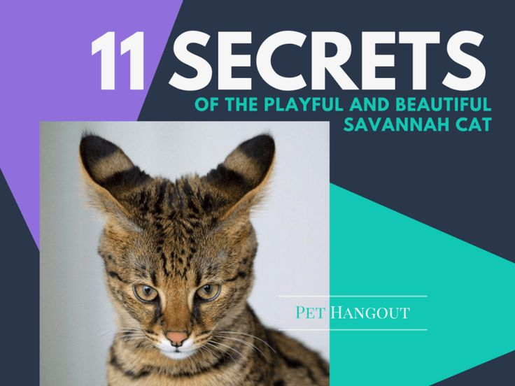 Savannah Cat,  Savannah Cat Price, How much is a Savannah Cat, Savannah Cats - We have fallen in love with this cat!!  Read why: https://pethangout.com/the-tale-wagger/savannah-cat