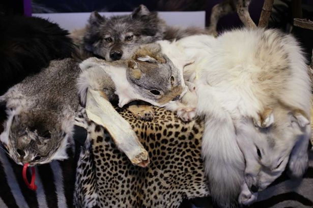 Tom Parry. (2015). Animal pelts on display . Retrieved 10 November, 2016, from http://www.mirror.co.uk/news/world-news/animal-skins-stuffed-birds-uk-5915001
