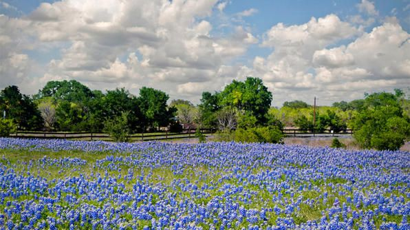 Take the top down on a spring drive to see the seemingly endless gardens of bluebonnets in Texas Hill Country. For an up close look at these blue beauties, start in Austin, TX, taking US 290 west to Johnson City's Wildflower Loop. Then drive along US 281 north to the town of Burnet, Texas's official bluebonnet capital.