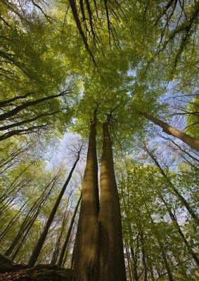 """Amateurfotograaf Ton Trel uit Geesteren (NL) maakte een uitstapje naar het Hallerbos in Vlaams-Brabant om wilde hyacinten te fotograferen. """"Het Hallerbos heeft prachtige paden met tot de hemel rijkende bomen. Door mijn groothoek te gebruiken werd dit effect versterkt"""", aldus Trel. Door communitylid anthony - NG FotoCommunity ©"""
