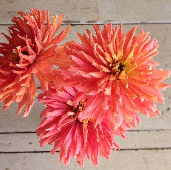 Cactus Zinnia Pink Zinnia Seed Senorita Zinnia by mountainlilyfarm