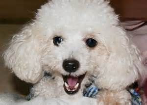 poodle - Yahoo Image Search Results