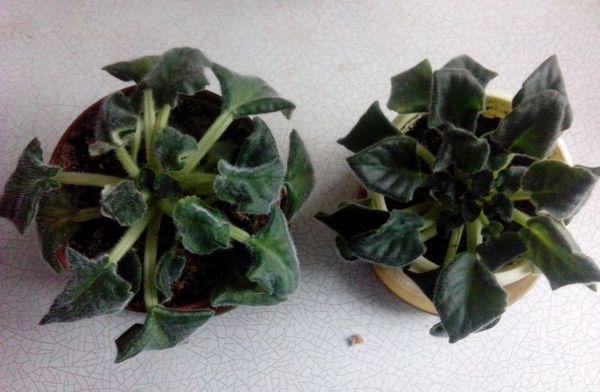 Фиалки не цветут из-за низкой влажности воздуха
