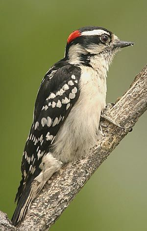 Downy Woodpecker finally found our suet.  Now I'm trying to keep the blackbirds at bay!