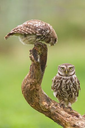 Little Owls by Andy Luberti