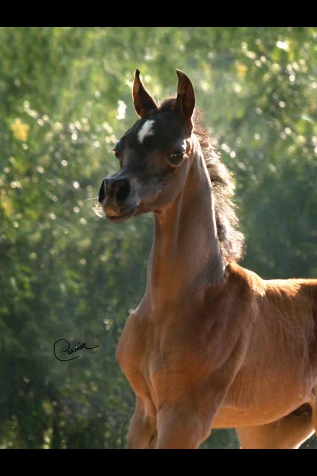 20 Best Rocky Mountain Horse Images On Pinterest  Rocky -6727