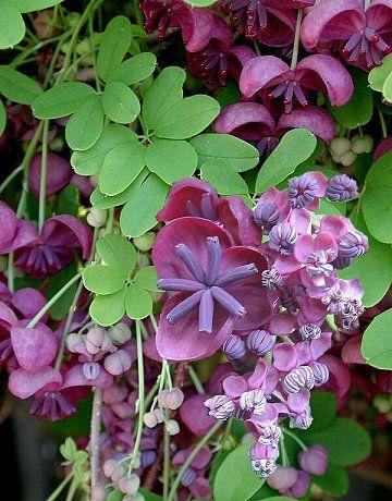 Akebia quinata / Schijnaugurk is een bladverliezende slingerplant die een hoogte kan bereiken van 6-8 mtr bloeit met kleine paarsrode bloemen in mei-juni die heerlijk geuren. Na de bloei vormen er zich soms grote purperblauwe vruchten. Staat bij voorkeur in halfschaduw evt. in volle zon. Snelle groeier.