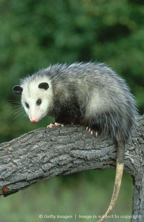 Opossums have been around since the time of the dinosaurs & make up the largest order of marsupials in the Western Hemisphere, including 103 or more species in 19 genera. Possums are unusually resistant to the venom of venomous snakes and are extremely unlikely to acquire rabies. They have 50 very sharp teeth, more than any land mammal