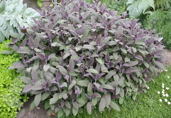 Purple Sage Salvia officinalis 'Purpurascens'