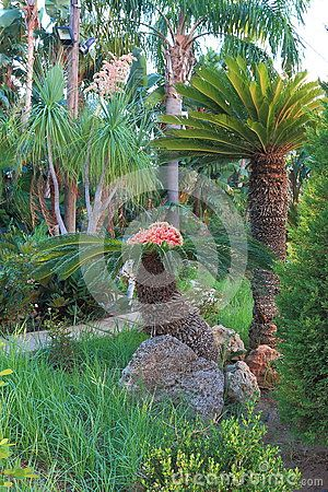 Two decorative palm trees in the garden. Pefki. Rhodes, Greece