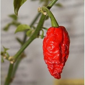 "Bhut Jolokia (Ghost Chili) Hot Peppers  ...make that sauce extra spicy. I prefer to add it to sweet onions, habanero peppers, and banana peppers, cook for about three hours, and then puree. Adds that little ""kick"" to any dish. . . .but use sparingly!"