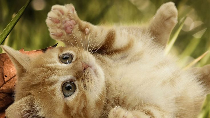 Free HD Cat Wallpapers 1366×768 Images Of Cute Cats Wallpapers (46 Wallpapers) | Adorable Wallpapers