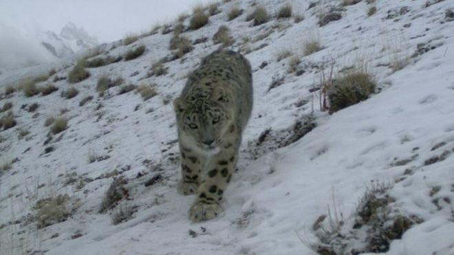 Pakistan's snow leopards: Both feared and sought (M Ilyas Khan, BBC News,12 April 2015)