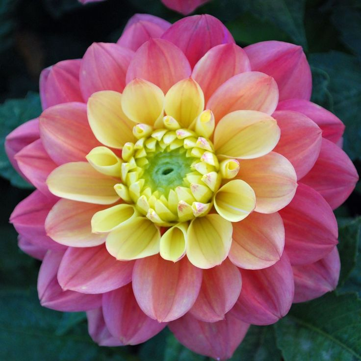 "Princesse Gracia Dahlia (3"" bloom; 1' bush): dark pink outer petals; salmon middle petals; yellow inner petals."