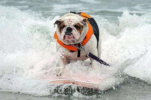 Бульдог из Сан-Диего победил в соревновании по собачьему серфингу (+видео)