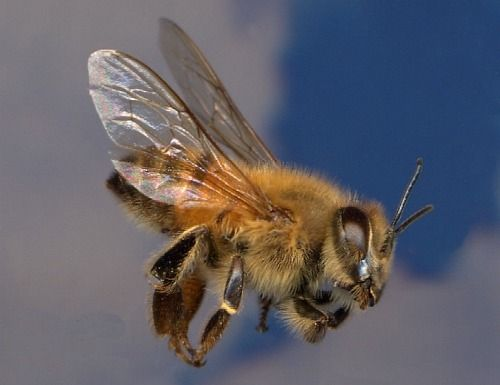 Closeup Honey Bee in flight! Amazing creatures. Learn more at our YouTube channel http://www.mahakobees.com