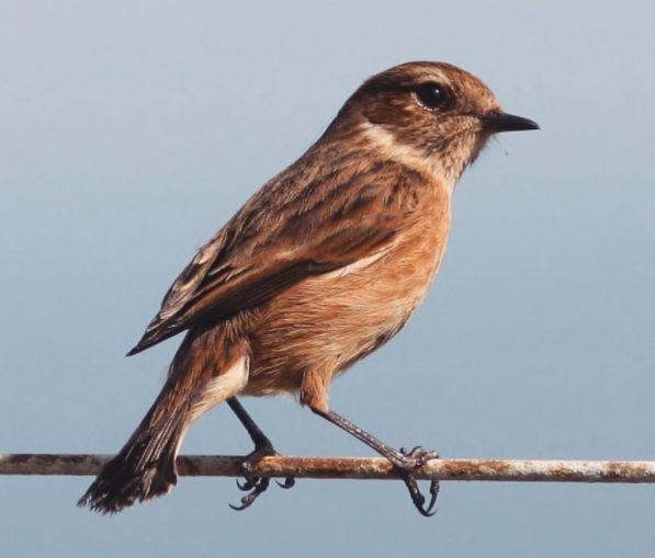 Stonechat  bird, nature, wildlife, photography