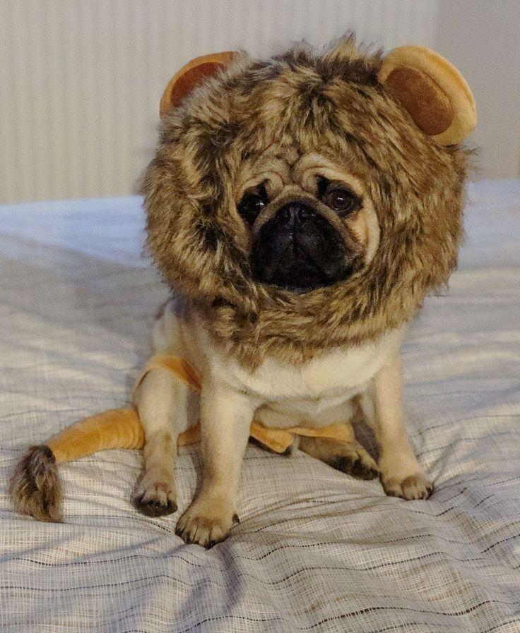 Lion Pug Cute Pugs Pugs Baby Pugs