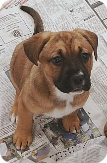 German Shepherd Dog/Boxer Mix Puppy for adoption in Stockton, California - Bonnie