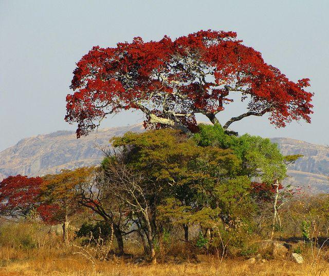 Africa | Msasa Tree, in Red Flush.  Zimbabwe. | © Rick Inzim.