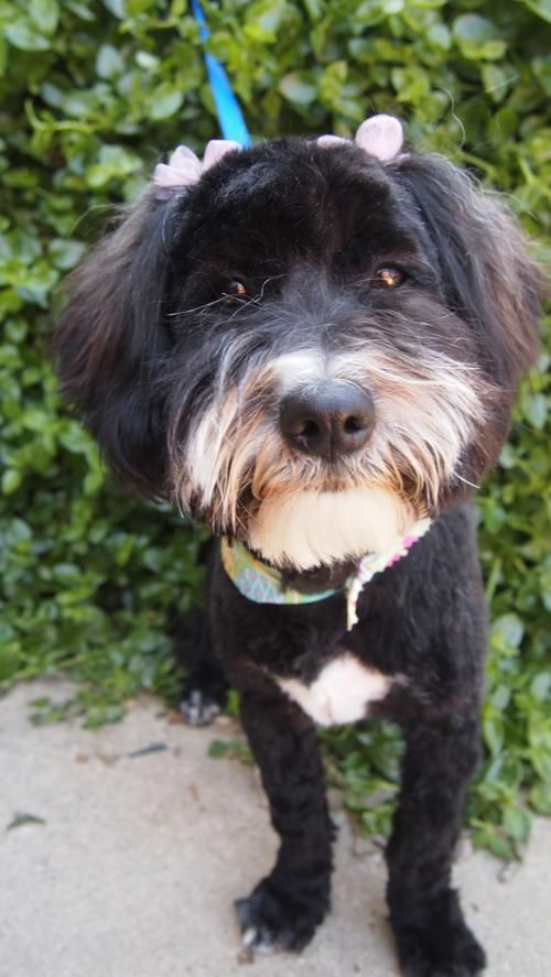 Marie is a sweet, docile cockapoo mix who's about 2 years old and weighs approximately 16 pounds. She's the mom of 4 of the youngsters from a backyard breeder in Lancaster. Marie is very affectionate and great with other dogs. She's blended in well with other dogs and has a mellow, easy-going temperament. Marie is a quiet girl who's easy to have around. She's great with kids and warms up to strangers quickly. She'll make a wonderful addition to any family.