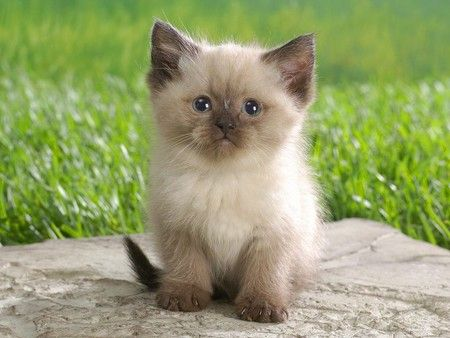 The Himalayan cat is a cross between a Persian cat and a Siamese cat..