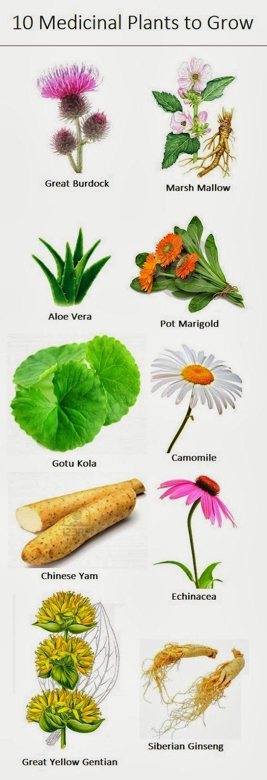 Medicinal Plants to Grow